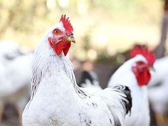 Zwei weiße Hühner im Vordergrund, weitere Hühner unscharf im Hintergrund