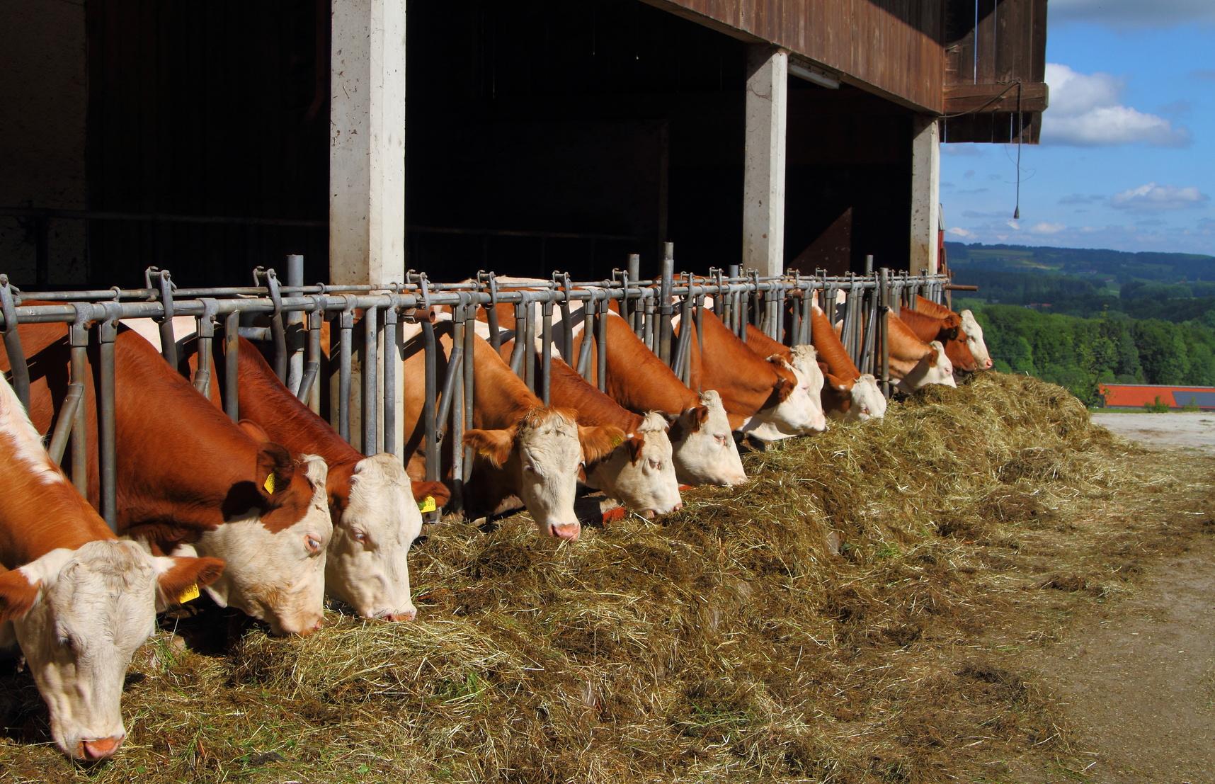 Eine Reihe von Kühen in einem Offenstall fressen Heu